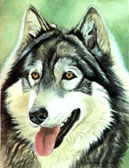 Wolf Dog Cross